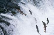 Entrepreneur-like-salmon-swimming-upstream-600x392